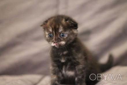 Котёнок Шотладский вислоухий