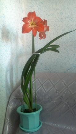 Продам гиппеаструм, взрослое растение, возраст 6 лет. Посажен в пластиковый горш. Харьков, Харьковская область. фото 3