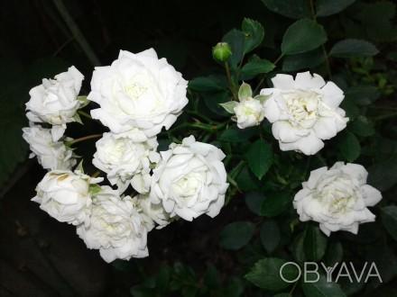 Роза бордюрная белая