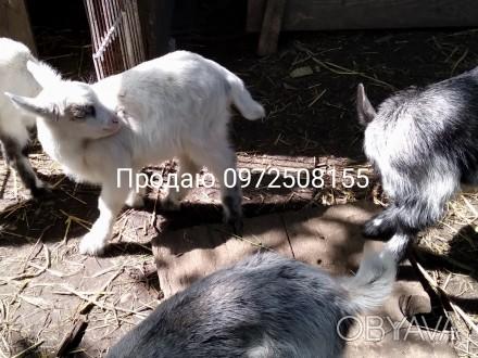Продаю козенят