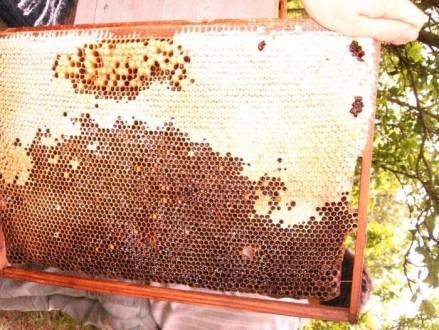 мед горный, подмор, забрус, прополис, настойка восковой моли. Черновцы. фото 1