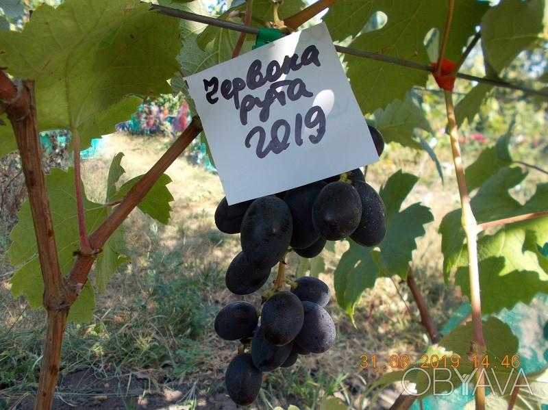 виноград рута описание сорта фото вся