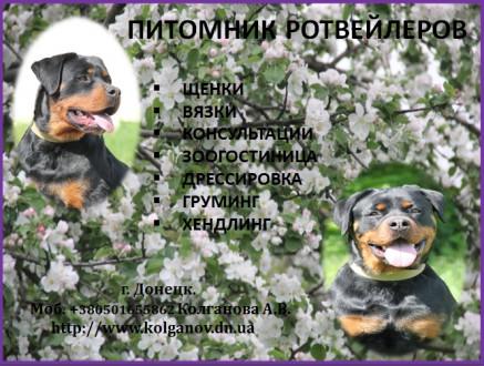 Предлагаю услуги хендлера, профессиональный показ собаки на выставках. Имею опыт. Луганськ, Луганська область. фото 3
