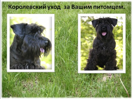 Владельцам жесткошерстных пород собак, предлагаем услуги по триммингу их питомце. Луганськ, Луганська область. фото 6