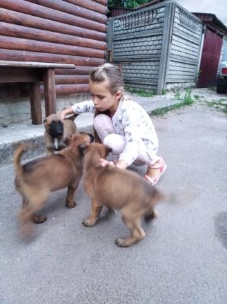 Щенки Малинуа от рабочих (служебных) родителей. 4- девочки, 4-мальчика. Родились. Иванков, Киевская область. фото 4