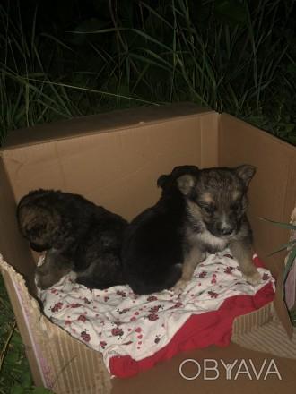 В добрые руки отдадим щенков две девочки и один мальчик.Нашли выброшенными возле. Сквирa, Киевская область. фото 1