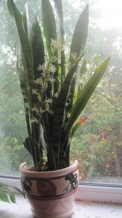 Сенсивьера цветущая. Чернигов. фото 1
