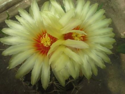 Легкоцветущий кактус. цветет несколько раз за год)  в продаже 3-4х годичные сея. Херсон, Херсонская область. фото 2