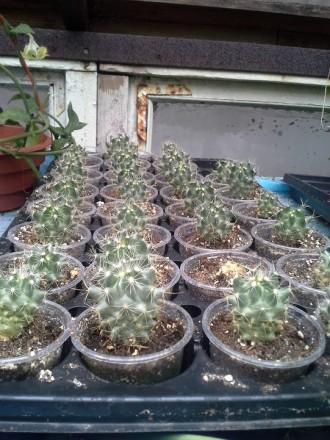 Легкоцветущий кактус. цветет несколько раз за год)  в продаже 3-4х годичные сея. Херсон, Херсонская область. фото 4