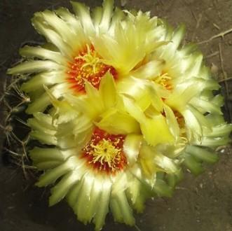 Легкоцветущий кактус. цветет несколько раз за год)  в продаже 3-4х годичные сея. Херсон, Херсонская область. фото 3