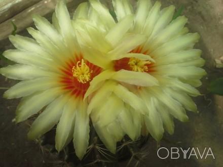 Легкоцветущий кактус. цветет несколько раз за год)  в продаже 3-4х годичные сея. Херсон, Херсонская область. фото 1