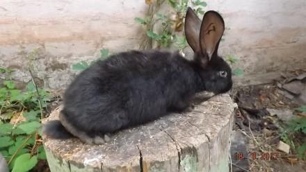 Продаю кроликов.. Кривой Рог. фото 1