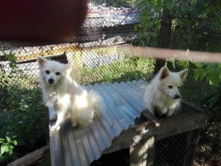 малый немецкий шпиц белый щенки. Ужгород. фото 1