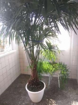 Продам пальму Трахікарпус Форчуна . Вік 15 років, висота 245-250 см.( дуже точні. Ровно, Ровненская область. фото 2