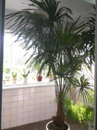 Продам пальму Трахікарпус Форчуна . Вік 15 років, висота 245-250 см.( дуже точні. Ровно, Ровненская область. фото 4