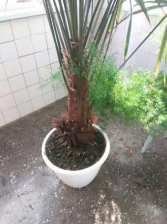 Продам пальму Трахікарпус Форчуна . Вік 15 років, висота 245-250 см.( дуже точні. Ровно, Ровненская область. фото 5