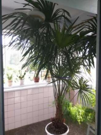 Продам пальму Трахікарпус Форчуна . Вік 15 років, висота 245-250 см.( дуже точні. Ровно, Ровненская область. фото 3