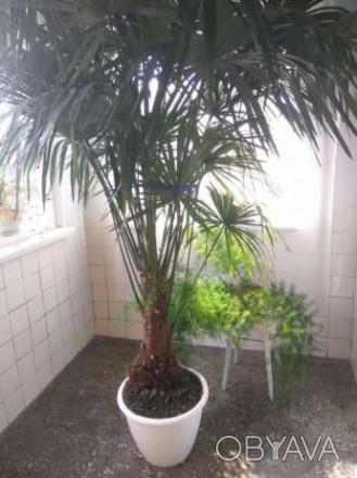 Продам пальму Трахікарпус Форчуна . Вік 15 років, висота 245-250 см.( дуже точні. Ровно, Ровненская область. фото 1