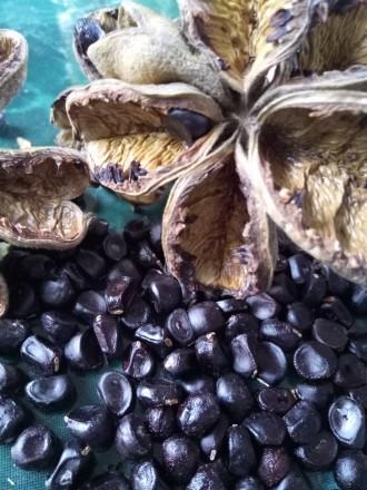 Семена пиона древовидного. Каменское. фото 1