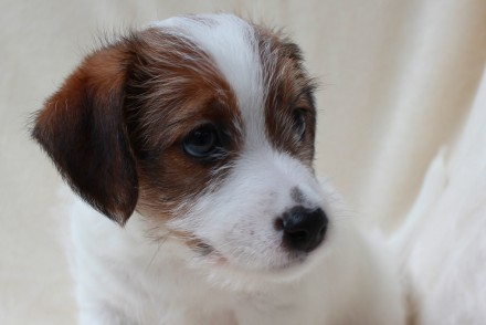 Питомник  ELPIS STAR предлагает к резервированию  красивых и породных щенков  Дж. Львов, Львовская область. фото 5