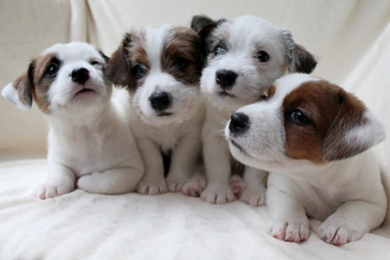 Купить  джек рассел терьера -очень красивая щенки!. Львов. фото 1