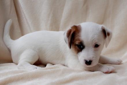 Питомник  ELPIS STAR предлагает к резервированию  красивых и породных щенков  Дж. Львов, Львовская область. фото 4