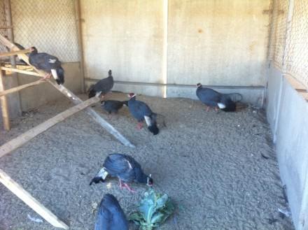 Синие ушастые фазаны. Яготин. фото 1