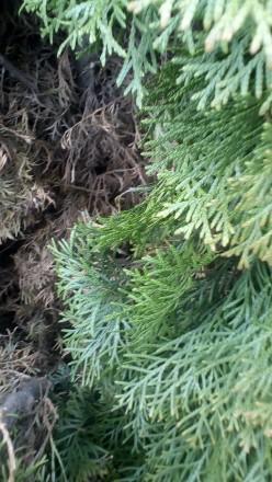 Чистка хвойников Чистка туй, можжевельников от старой хвои (чревато прелостью и. Херсон. фото 1