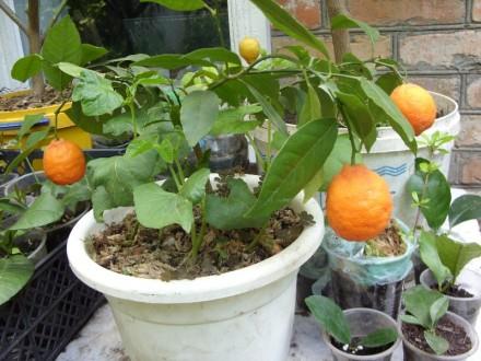 Саженцы апельсина (бигарадия). Чернигов. фото 1