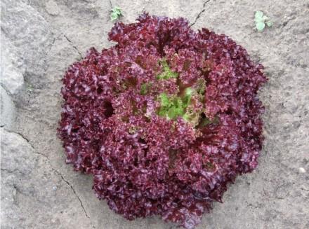 Семена (насіння) Салат.. Киев. фото 1
