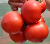 Семена (насіння) Томатів, помадорів.. Киев. фото 1