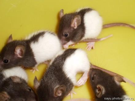 Продам крысят!. Донецк. фото 1