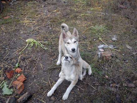 Щенок-подросток западно-сибирской лайки, кобелек. Возраст 5 месяцев. Здоровый , . Чернигов, Черниговская область. фото 3