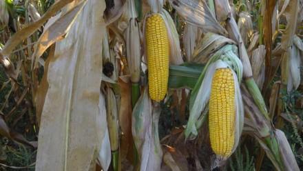 Продам посевмат кукурузы венгерской селекции Вудсток (Woodstock) 2017 года. ФАО . Кропивницкий, Кировоградская область. фото 4