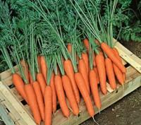 Насіння моркви Престо F1. Киев. фото 1