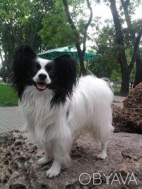Предлагаются очень красивые щенки папильона. Одеса. фото 1