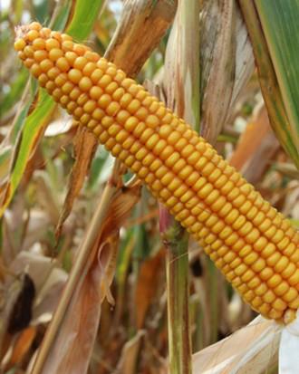 Насіння кукурудзи Данубіо. Киев. фото 1