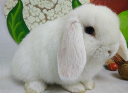 Наши крольчата лучший подарок для Вас и ваших близких!. Киев. фото 1