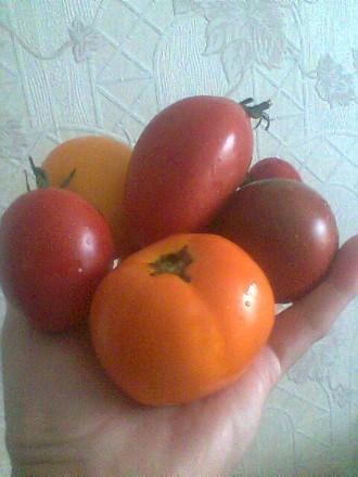 Семена коллекционных томатов. Хмельницкий. фото 1
