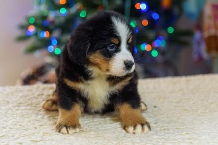Шикарные щенки Бернского Зенненхунда -1.5 месяца. Гармоничное, породистое сложен. Чернигов, Черниговская область. фото 4