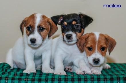 Предлагаются  к резервированию очень породные  щенки джек рассел терьера-  мальч. Львов, Львовская область. фото 3
