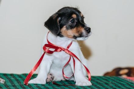 Предлагаются  к резервированию очень породные  щенки джек рассел терьера-  мальч. Львов, Львовская область. фото 6