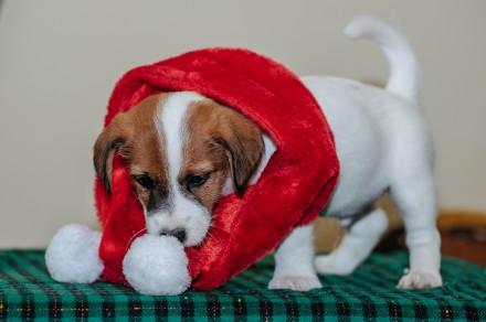 Предлагаются  к резервированию очень породные  щенки джек рассел терьера-  мальч. Львов, Львовская область. фото 5