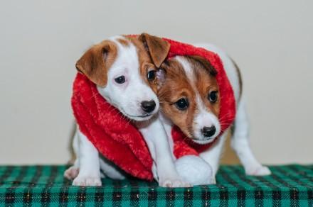 Предлагаются  к резервированию очень породные  щенки джек рассел терьера-  мальч. Львов, Львовская область. фото 4