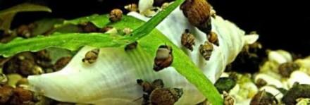 Грунтовые аквариумные улитки мелании. Сумы. фото 1