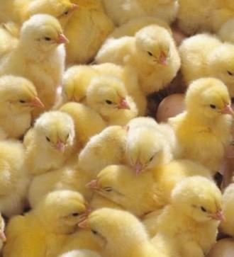 Суточный цыпленок бройлера КОББ 500. Днепр. фото 1