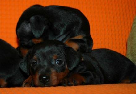 Прекрасные щенки Цвергпинчера. Львов. фото 1