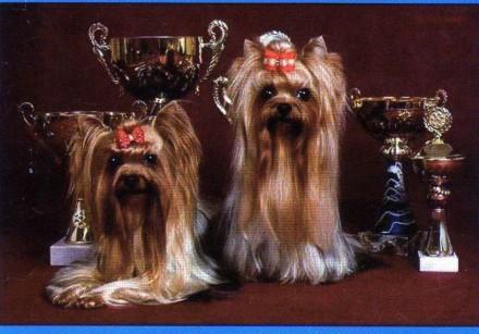 Продаются щенки йоркширского терьера. Одесса. фото 1