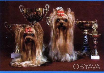 Элитные щенки йоркширского терьера 3,5 месяца мальчик и девочка.Евро стандарт. И. Одесса, Одесская область. фото 1
