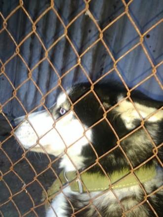 Продам собаку Сибирский Хаски. Маньковка. фото 1